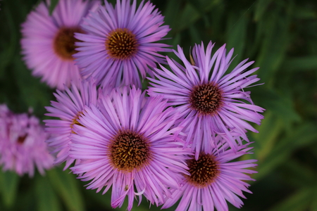 Blossoms  Purple Aster Blossoms (Aster) - Basket Blossoms (Asteraceae)