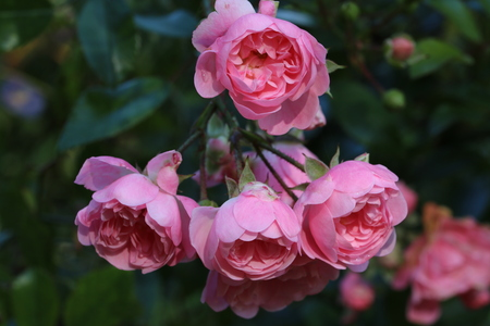 Pink Roses (Pink  Rosales)