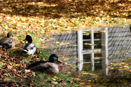 Ducks (Anatidae) at the pond with autumn leaves and reflection in the water Stock Photo
