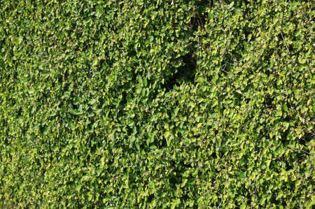 Wall maden of green plants, a texture for backgrounds Stok Fotoğraf - 55587470