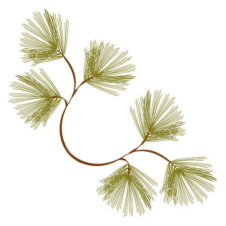 Kiefer Zweig auf weißem Hintergrund