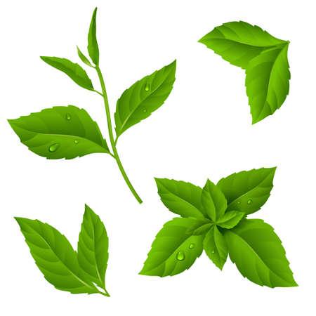 Feijão de chá verde fresco e folhas de hortelã com gotas de orvalho. Ilustração vetorial da planta em fundo isolado. Eps 10 Foto de archivo - 76439964