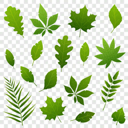 Summer green leaves of different trees isolated on transparent background. Fresh foliage. Simple leaves collection in flat style. Vector illustration. Foto de archivo - 123061491