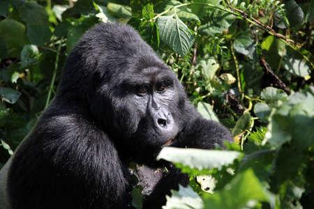 uganda: Mountain Silverback Gorilla Stock Photo