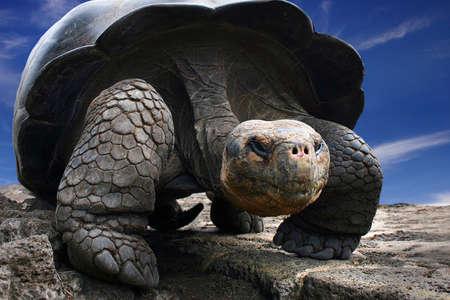 galapagos: Galapagos Giant Turtle