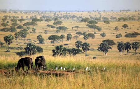 uganda: Buffaloes in Murchison Falls