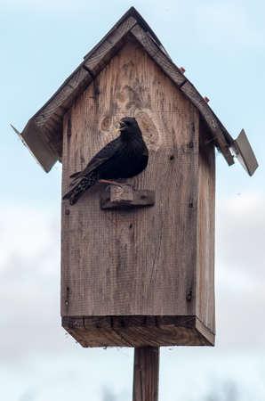 beak: Birdhouse with its inhabitant starling open beak