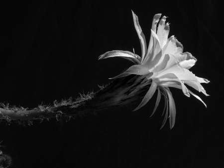 Part of a flower blooming cactus echinopsis obrepanda black and white. close up Banque d'images - 126759364