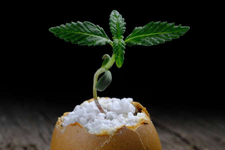 A cannabis sprout grows from the shell of eggs that are on an old wooden surface. horizontal orientation. copy space close-up