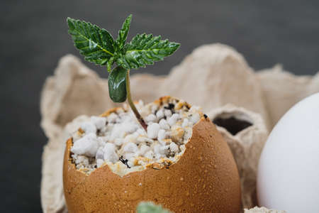 sprout of cannabis from an egg. Eggs are in an environmentally friendly cardboard container. Growing medical marijuana. Zdjęcie Seryjne