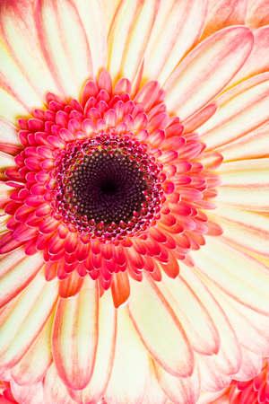 Photo gerbera closeup. photo