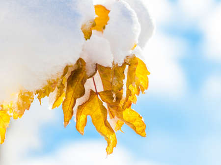 Closeup shot of leaf with snow front blue sky photo