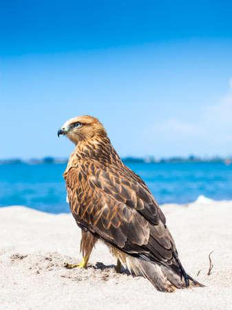 fling: Osprey Fling Over White Sand Beach