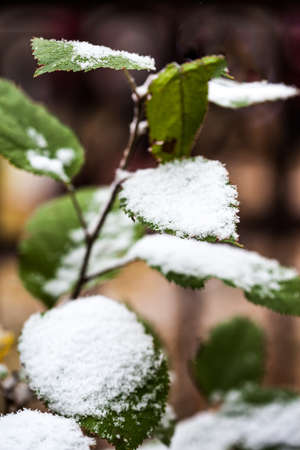 green leaves under the snow photo
