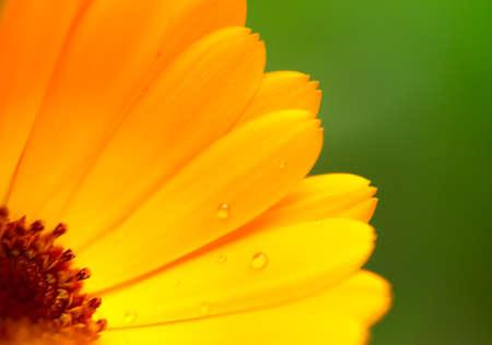 beautiful flower, Calendula, wet yellow petals border, daisy plant with bokeh ,nature macro details
