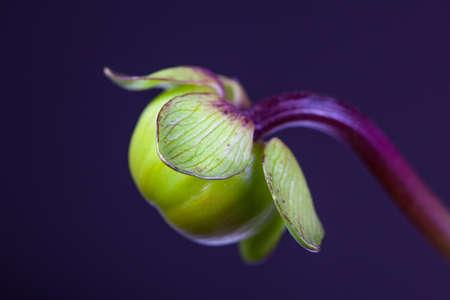 paeonia: Paeonia Bud close-up Stock Photo