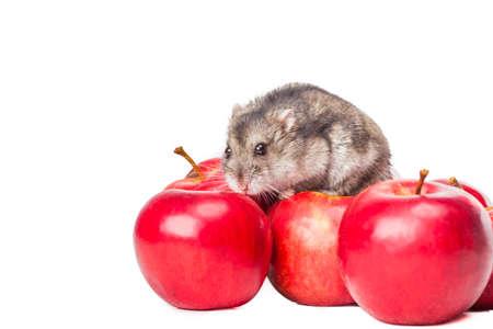 Djungarian Hamster apple eating  photo