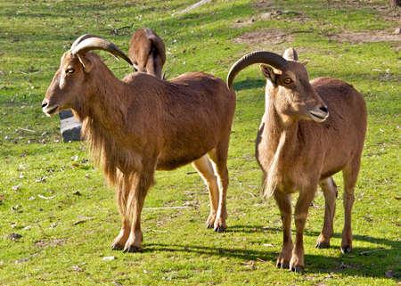 mountain goats: Un paio di capre di montagna. Archivio Fotografico