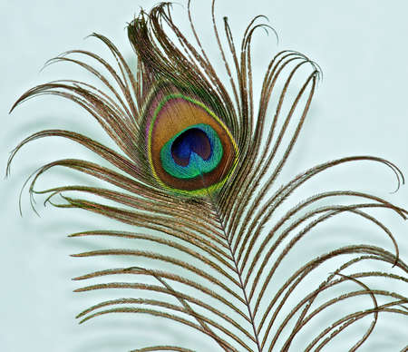 Peacock feather on a green background Stock Photo - 13503488