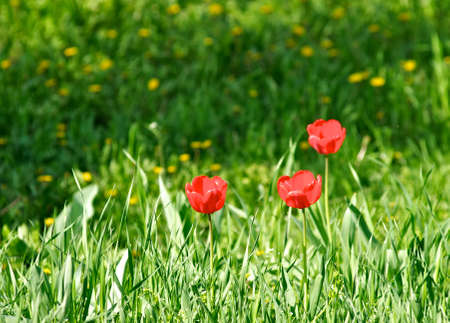 Red tulips on a green meadow Stock Photo - 13569172
