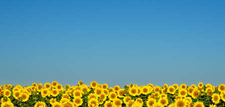 Sunflowers under the blue sky. photo