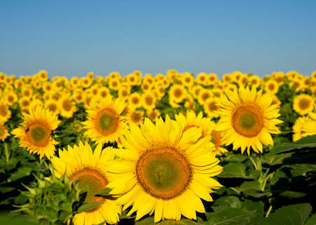 sunflowers field: Sunflowers. Stock Photo