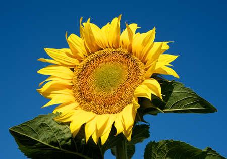 Sunny sunflower photo