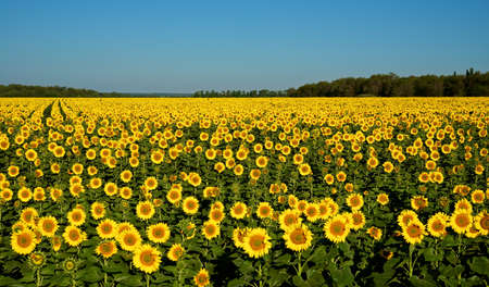 A field of sunflowers. photo