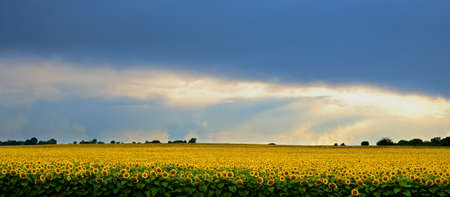 Storm over a field of sunflowers. photo