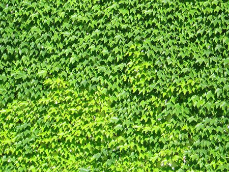 A fully ivy-covered wall
