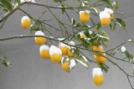 Lemons covered with snow after a snowstorm