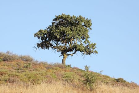 sloping: A tree standing lonely in a sloping field in southern Greece