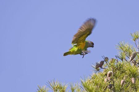 A Senegal Parrot (Poicephalus senegalus)