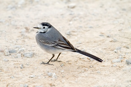 white wagtail: A White Wagtail (Motacilla alba) on the ground Stock Photo