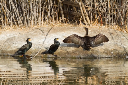 cormorants: Three Cormorants soaking some sun by a parks lake