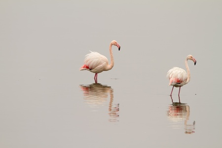 Two flamingos on the mirror-like waters of lake Kerkini, Greece photo