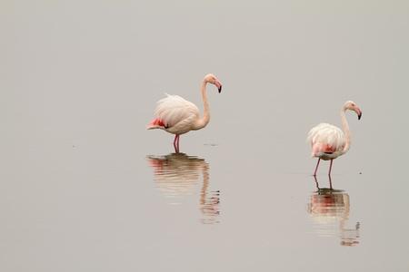 kerkini: Two flamingos on the mirror-like waters of lake Kerkini, Greece