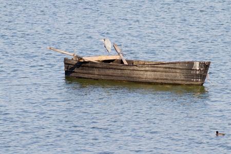 A Grey Heron (Ardea cinerea) sitting on an old boat in lake Kerkini, northern Greece photo