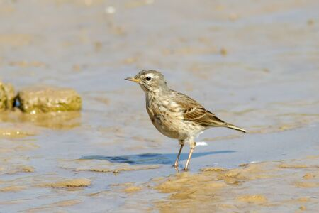 A Water Pipit  Anthus spinoletta  standing on a muddy ground Stock Photo