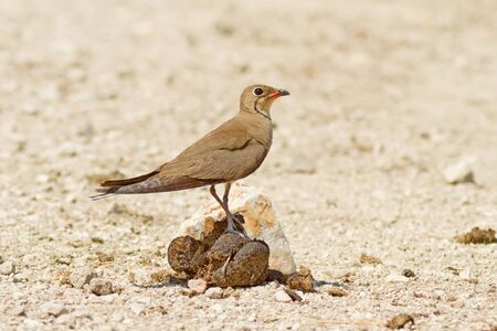 dung: A Collared Pratincole (Glareola pratincola) sitting on some cow dung!