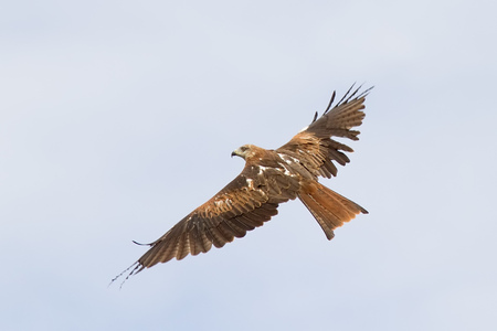 milvus: A Red Kite  Milvus Milvus  flying
