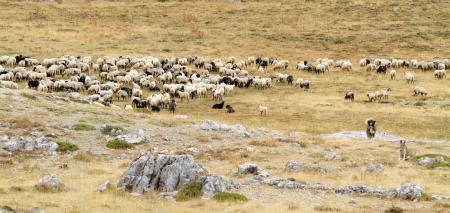 A flock of sheep grazes on the summer alpine meadows of mount Giona, Greece photo