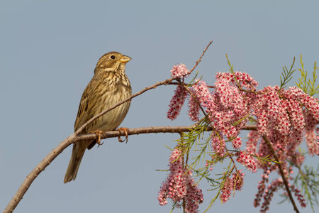 burgeoning: A Corn Bunting (Emberiza calandra) on a blooming tamarisk during springtime Stock Photo