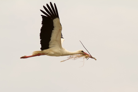 transfering: A White Stork (Ciconia Ciconia) transfering material for its nest