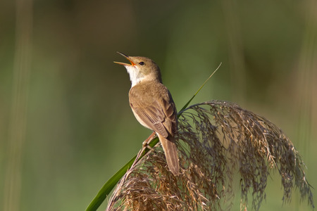 A European Reed Warbler (Acrocephalus Scirpaceus) singing on a reed