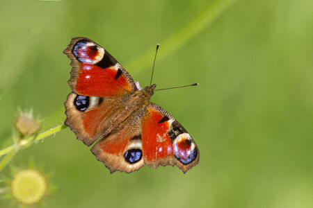 inachis: A beautiful colourful European Peacock Butterfly (Inachis io)