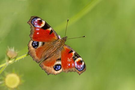 peacock butterfly: Una hermosa mariposa de pavo real colorido Europea (Inachis io)