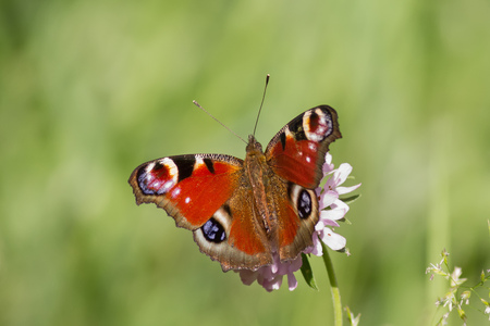 inachis: A beautiful colourful European Peacock Butterfly (Inachis io) while sitting on a flower