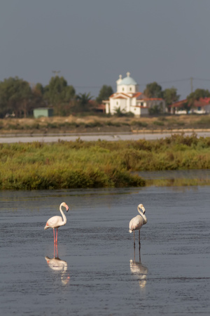 foreground focus: A view of Mesologgi Lagoon, with two Greater Flamingos in the foreground (focus is on the flamingos) Stock Photo