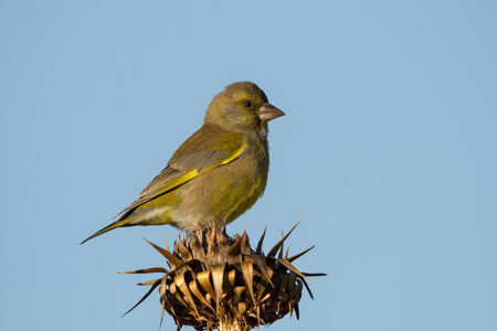 greenfinch: A European Greenfinch (Carduelis chloris) sitting on the top of a thistle Stock Photo